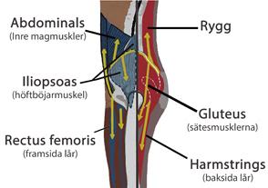 höftmuskler anatomi
